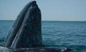 baja california sur whale watching